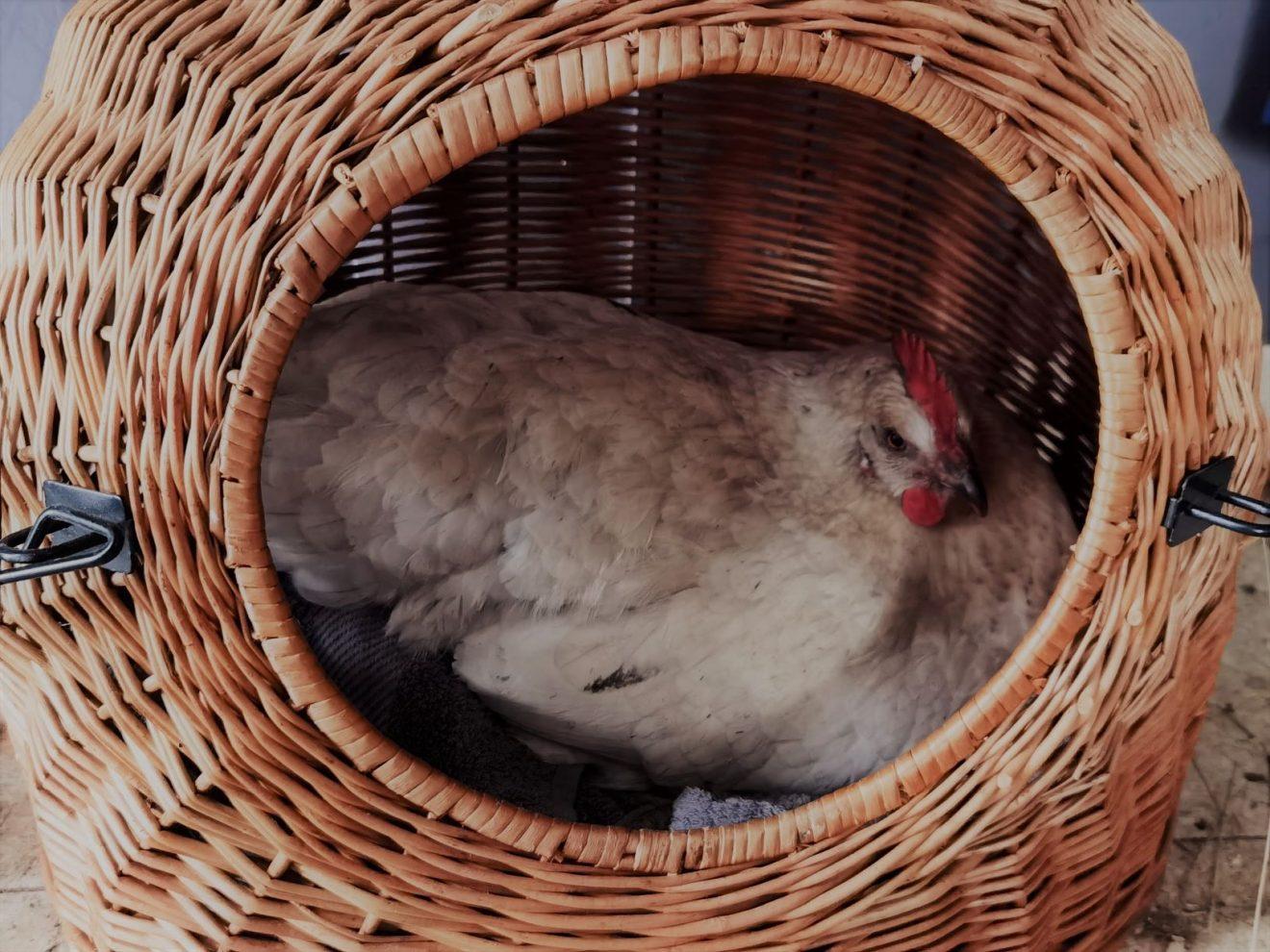 Huhn im Katzenkorb