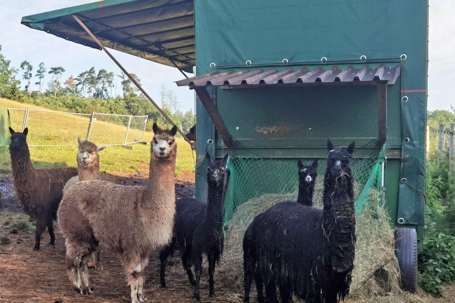 Alpakas vor einem Stall - als Titelbild für 12 von 12